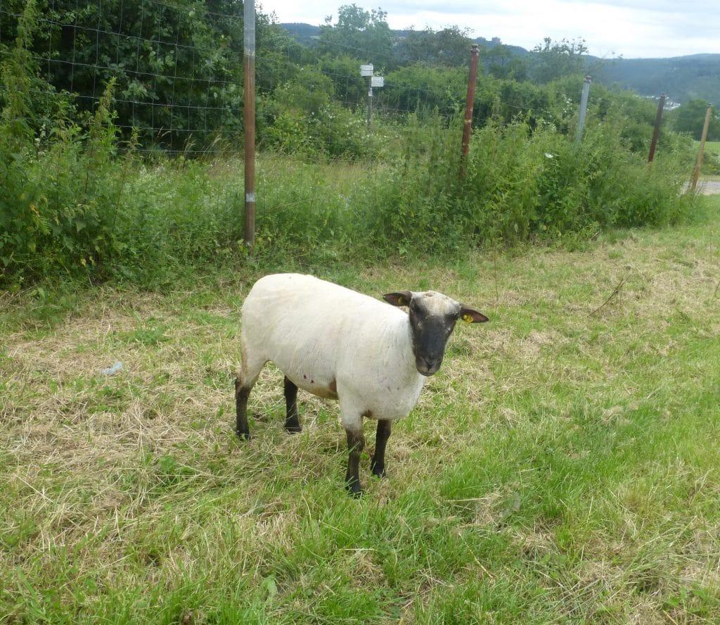 WBH Schafe scheren
